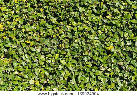 Abstract nature background with green hedge leaves. Natural texture