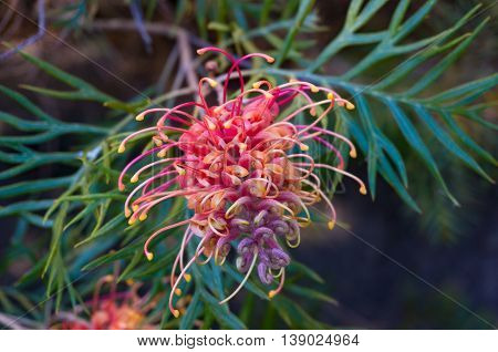 Grevillea Flower. Exotic Plant In Bloom