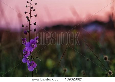 Beautiful meadow purple flower on blurred nature background