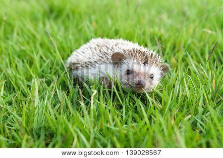 Little Hedgehog on the green grass , lovely pet