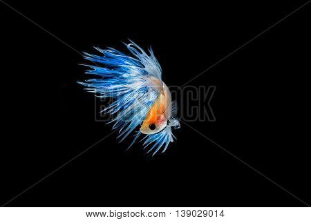 moving moment of light blue siamese fighting fish isolated on black background