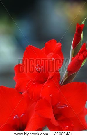 Blooming gladiolus flowers painted in bright red