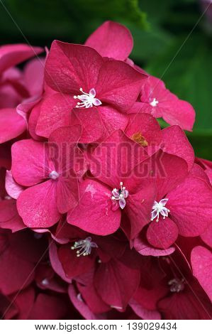 Pink open hydrangea flowers close-up in summer