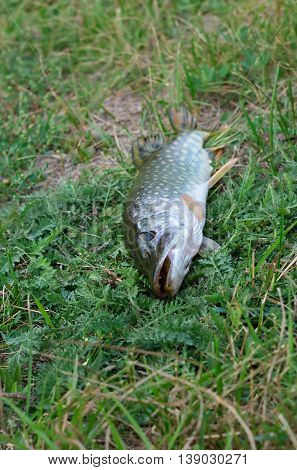 big pike caught lying on green grass