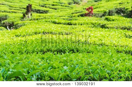 Close up of tea plantations near Cameron Valley Cameron Highlands Malaysia.