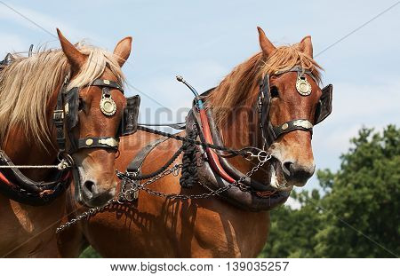 photo of a pair of heavy horse in working harness