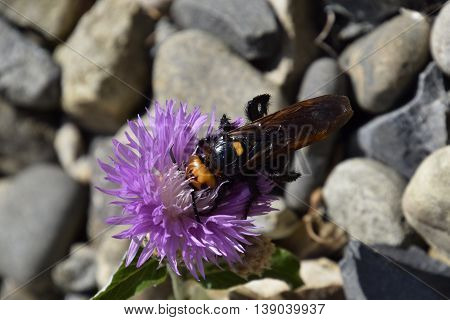 Megascolia Maculata. The Mammoth Wasp.