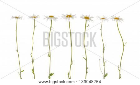 seven beautiful flowers field of daisies with white delicate petals and bright yellow center on a thin green stems on a white background isolation