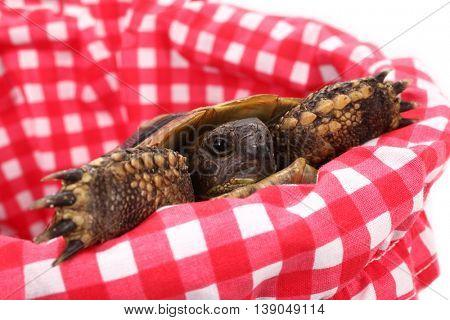 Baby turtle pet