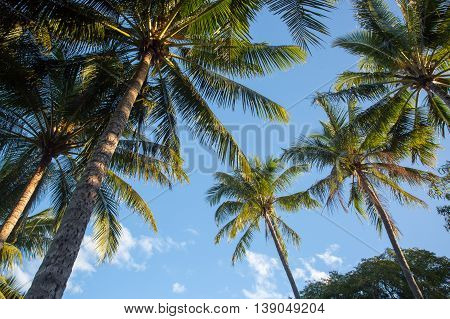 Tropical palm trees in Palm Cove, Queensland, Australia