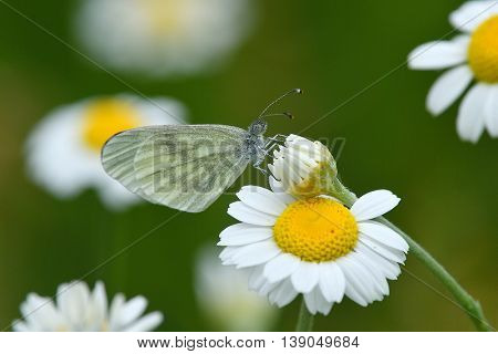 small white (Pieris rapae) sitting on white flower outdoor in spring