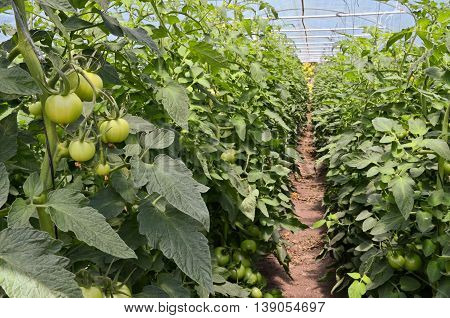 Growing tomatoes in greenhouse. Small - family business in Europe