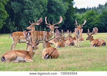 Fallow - Fallow Deer. (dama Dama ) Beautiful Natural Background With Animals. Forest And Nature With
