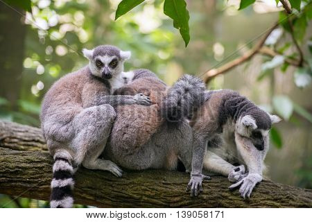 Ring-tailed lemurs (Lemur catta) sitting on the tree branch