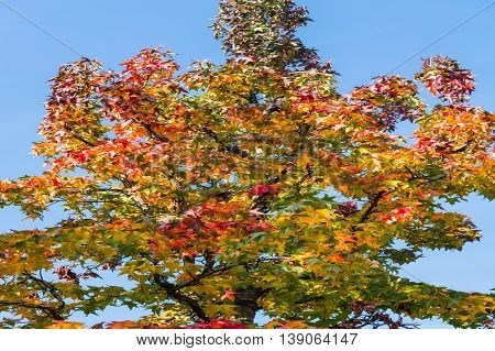 Autumn tree in November in sunny weather.