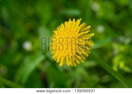Portrait of lonely dandelion in spring grass