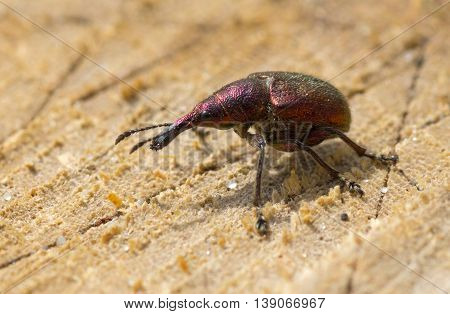 Weevil beetle (Curculionidae) demonstrates its sideview while sitting on a tree shear