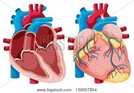 Diagram showing human hearts illustration