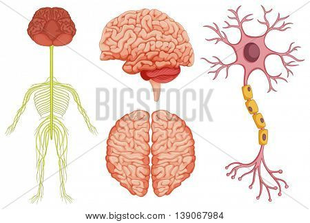 Human brain and stem cell illustration