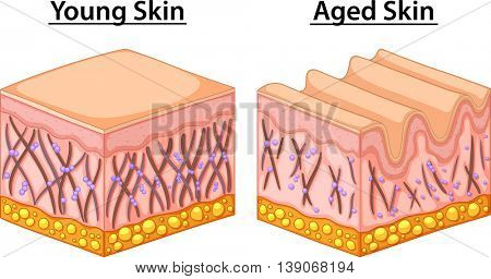 Diagram showing young and aged skin illustration