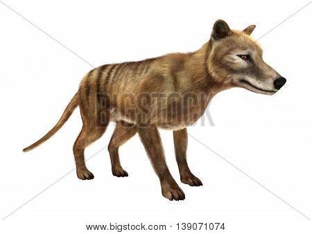 3D Rendering Thylacine On White