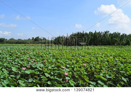lotus flower field and small hut in vietnam