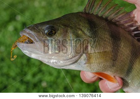 Perch on a spinning jig on the edible gum in the hands of the fisherman