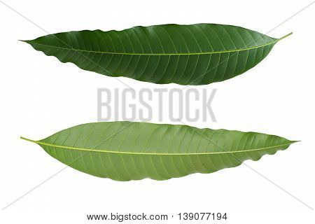 closeup green mango leaf front and backside isolated on white background