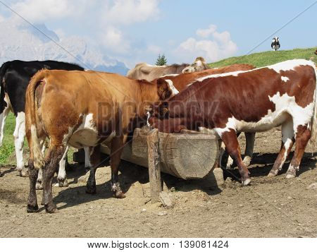 Cows drinking water from a trough in an alpine pasture with Sesto Dolomites South Tyrol Italy in background