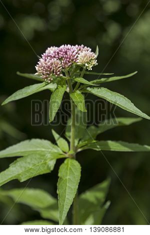 Fresh pink blooming hemp-agrimony