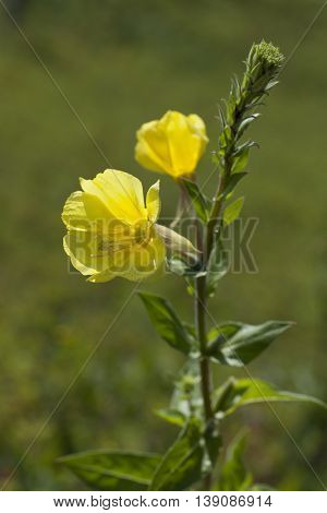 Yellow flowering evening primrose close up