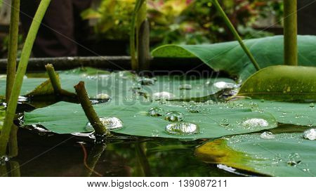 Raindrops on lotus leafs in pond. Selective focus.