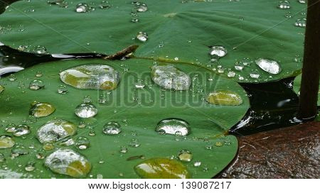 Raindrops on green lotus leaf. Selective focus.