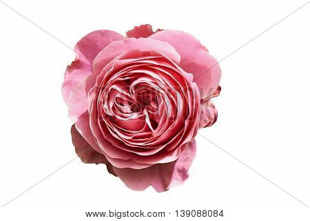 Rose soft pastel Pink view from above on white background