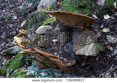 Mushrooms attached to a tree trunk cut
