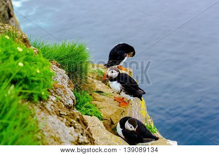 Puffin at the cliff of Latrabjarg in Iceland