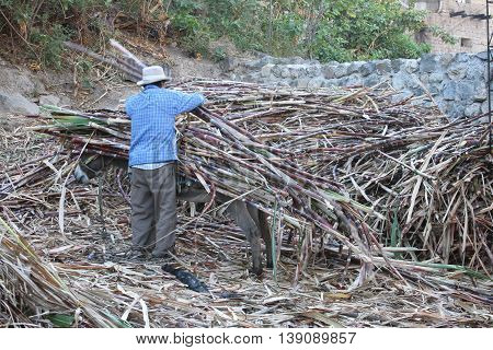 Magdalena Cajamarca Peru - July 13 2016: Man unloads sugarcane from burro's back in Magdalena Cajamarca Peru on July 13 2016.