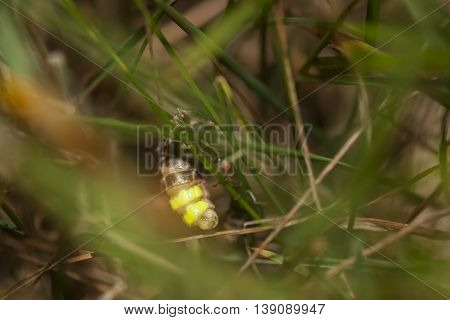 Glow-worm hang on a grass blade at night