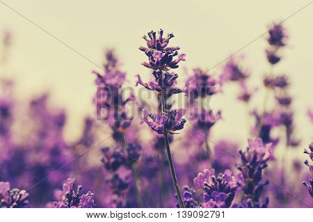 closeup of beautful scented lavender flowers field