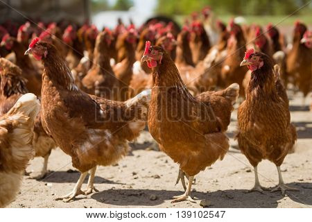 Red chickens on a farm in nature. Hens in a free range farm. Chickens walking in the farm yard.