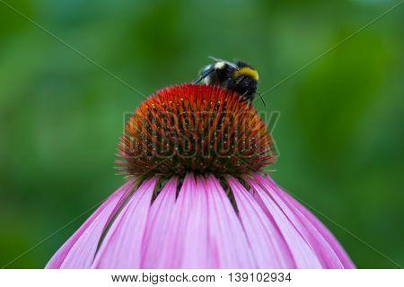 Bee on a purple coneflower - Echinacea purpurea