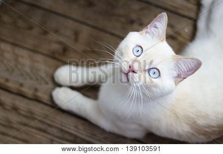 white cat with blue eyes lying on wooden floor. The view from the top