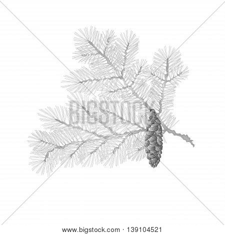 Spruce branch lush conifer isolated as vintage engraving vector illustration
