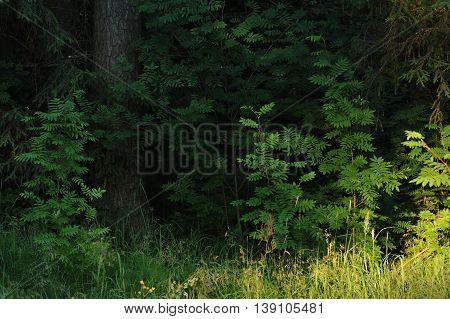 Rowan Trees.