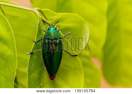 Beautiful Jewel Beetle or Metallic Wood-boring (Buprestid) on green leaf.