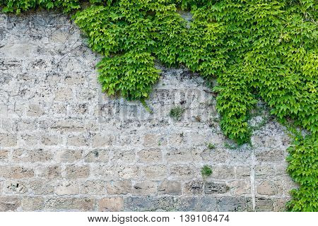Part of stone and brick wall covered with Virginia creeper, Stone wall with partial planting