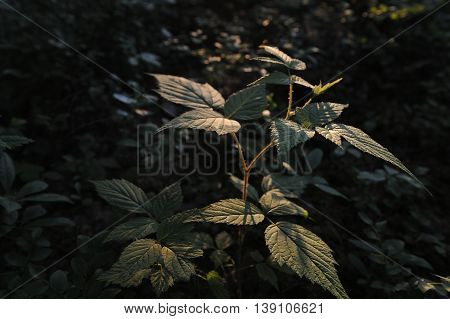 Young Raspberry Bush