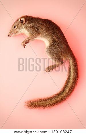 squirrel asia Stauffer creature animals pink background