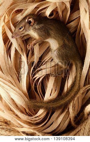 squirrel asia stauffer creature animals brown background