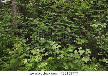 Close up of rowan trees like a wall